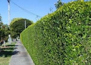 hedghing