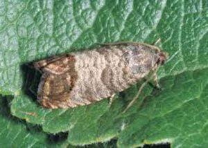 coddling-moth