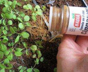 cinnamon sprinkled on seedlings
