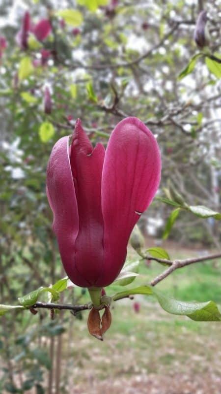 Grow magnolia for low allergy gardens